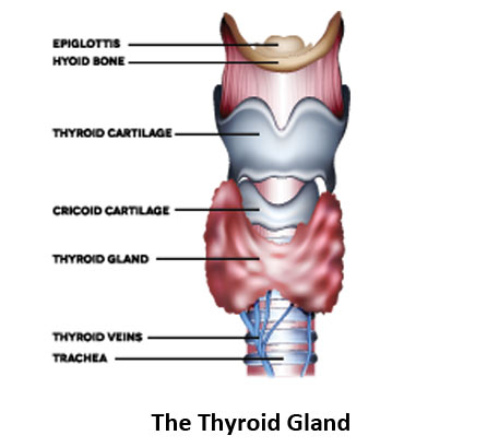 The-thyroid-gland